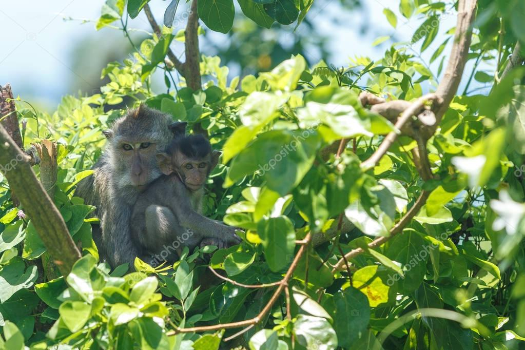 Monkey baby sucks its mothers breast milk. Female monkey with a cub on the tree in a natural habitat of Island Bali. Indonesia