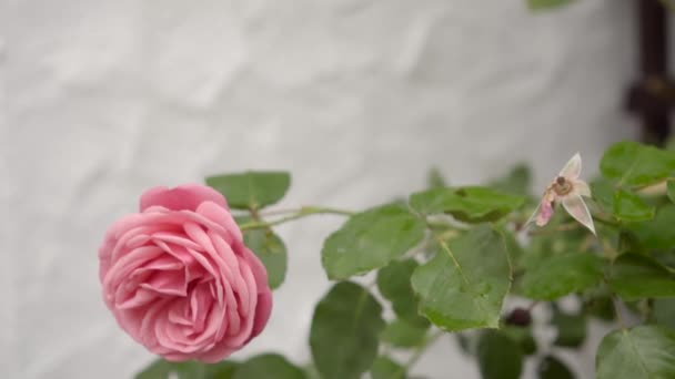 pale pPink climbing roses on the white wall, slow motion
