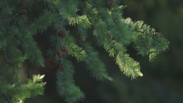 Fir cones on a branch in the forest on a green background. 4k