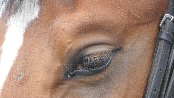 Zár-megjelöl kilátás-a szem, egy gyönyörű barna ló. Ló szem villog. Lassú mozgás