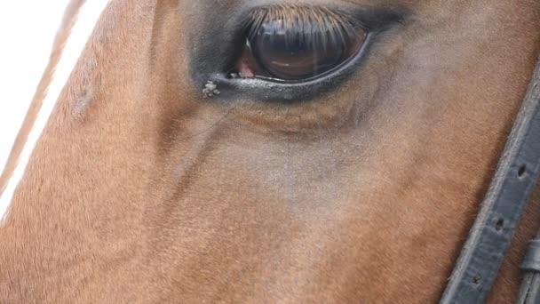 Zblízka pohled očí krásné hnědé koně. Koňské oko bliká. Zpomalený pohyb