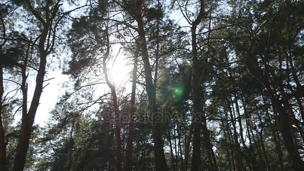 Tracking shot in a thick deciduous forest. Sun glimmering through tree. Forest with sunrays shining. Sun rays light shines through trees and branches of deciduous forest.