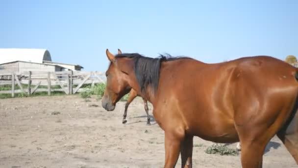 Cavallo marrone sta camminando presso azienda agricola. Stallone galoppante e dimenando la coda. Gruppo di cavalli sullo sfondo. Close-up