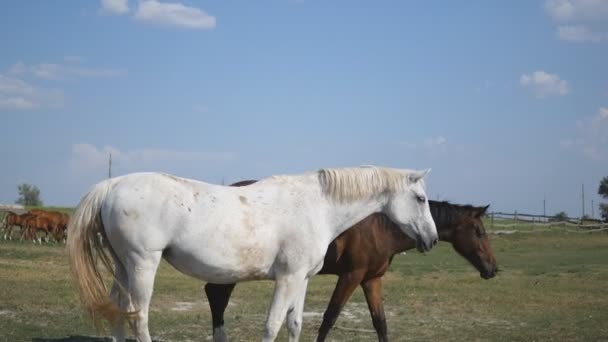 Brown and white horse is walking at farm. Horses galloping and wagging tail. Group of horses on the background. Close-up