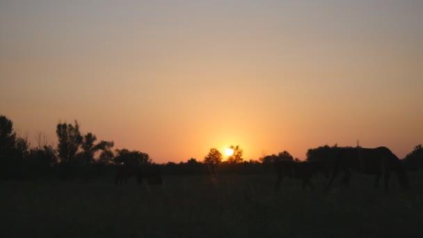 Eine Gruppe Pferde weiden auf einem Feld bei einem schönen Sonnenuntergang. Haustier ist bei Sonnenaufgang Weiden. Schöner Blick auf die Natur. Silhouette-Pferd auf der Wiese grasen