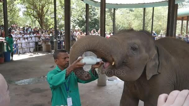 Kandy, Sri Lanka - 2017. február 11.: Az ember etetés tej, egy kis elefánt az állatkertben. Lassú mozgás
