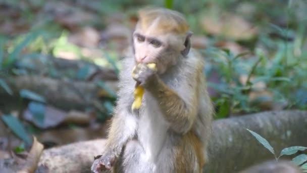 Opice jíst čerstvé ovoce v tropickém parku. Vertet na Srí Lance. Detailní záběr
