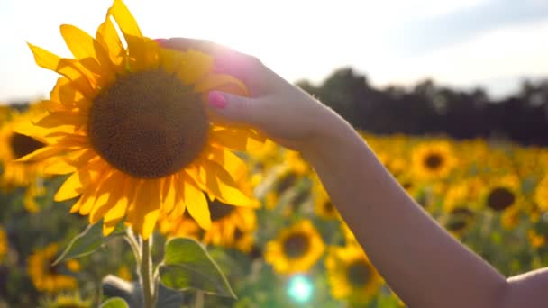 Female hand touching beautiful sunflower in the field with sun flare at background. Arm of girl caress yellow flower at the meadow at sunny day. Summer concept. Close up Slow motion