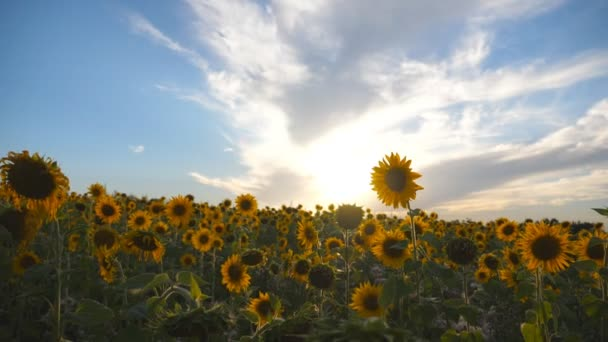 Beautiful view of yellow sunflower field under blue sky at sunset. Nature background. Summer landscape. Slow motion