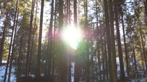 Dolly záběr světla slunce prolomit stromy v časných ranních hodinách. Teplé sluneční paprsky osvětlující rostliny v zimě. Krásné horské borovice lesní s sluníčko. Příroda v pozadí. Zpomalený pohyb