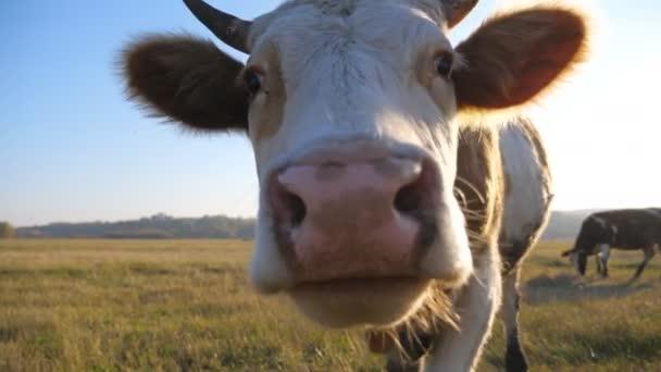 Zvláštní kráva se dívá do kamery a čichá k ní. Roztomilé přátelské zvíře pasoucí se na louce ukazující zvědavost. Skot na pastvině. Scénická krajina na pozadí. Koncept farmaření. Zpomalený pohyb