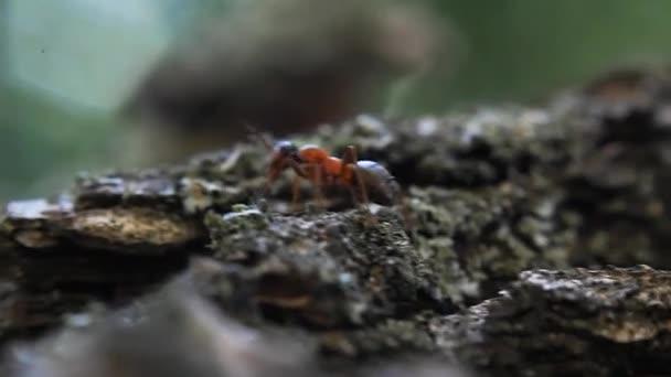mravenec na stromové kůře, hmyz, video