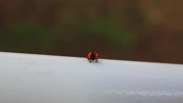 katicabogár, közönséges vörös és fekete rovar