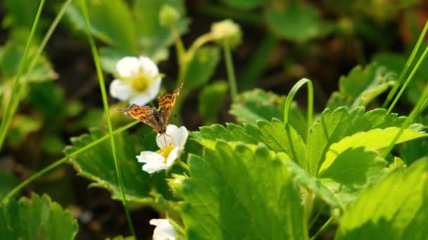 Black and orange butterfly flying on white flower after feeding. 4K butterfly in summer garden with blooming wild strawberries in spring