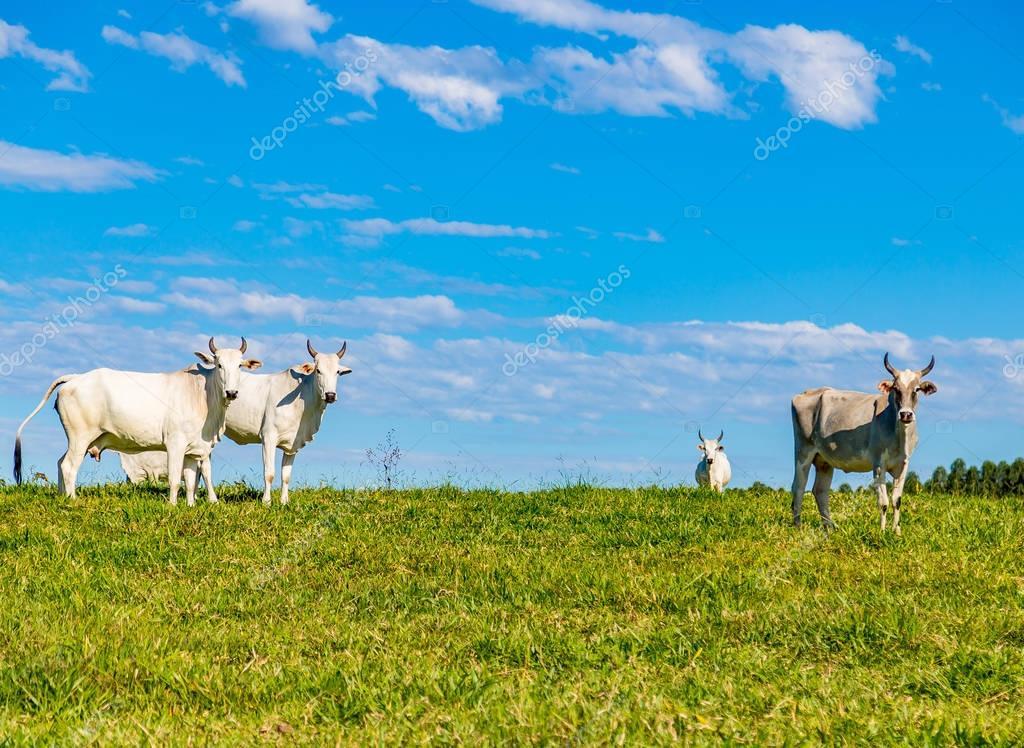 Brazilian nelore catle on pasture in Brazil's countryside