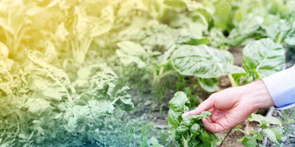 Farmer in his vegetable garden
