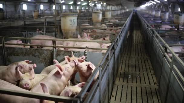 pig farm industry animal agriculture livestock cage