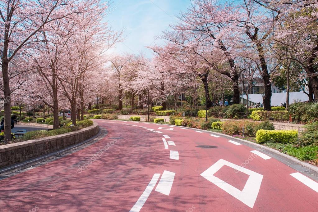 Spring sakura cherry blossoms