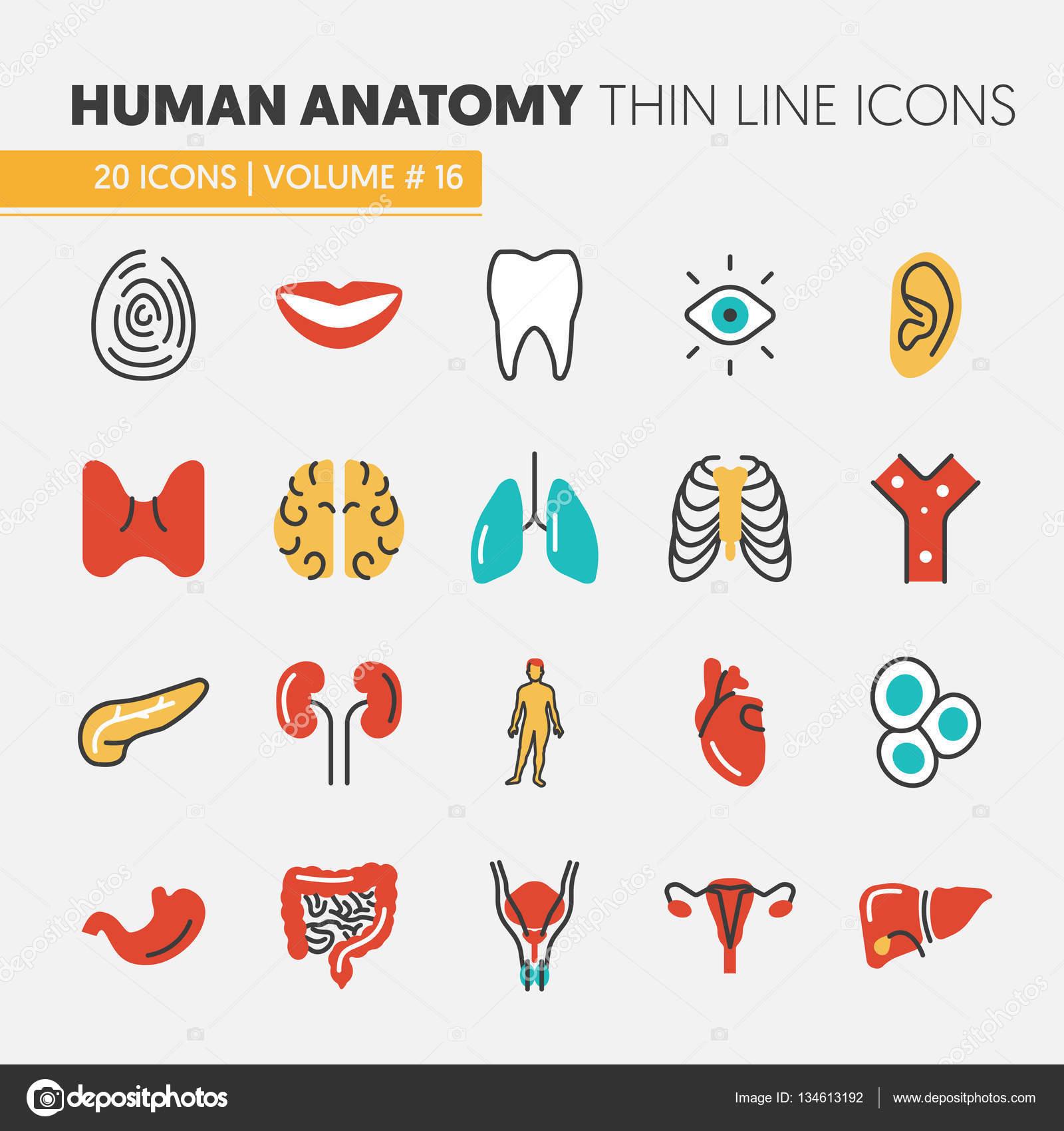 Anatomía delgada línea Vector Icons Set con órganos humanos e ...