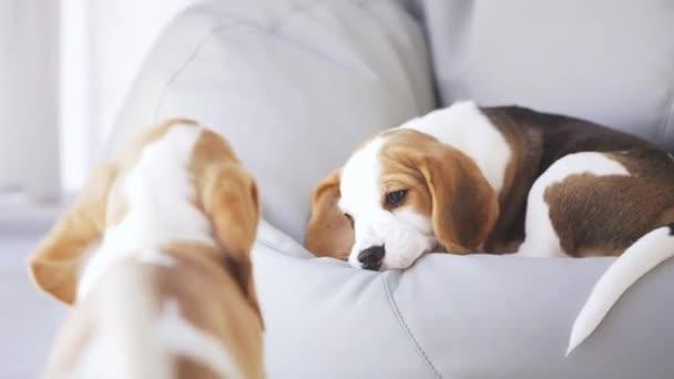 Detailní záběr záběr roztomilé štěňátko beagle, ležící na Taburet, zatímco na jiný snaží hrát si s ním v slowmotion
