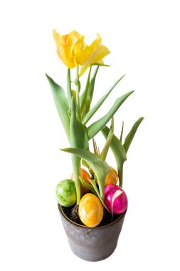 Yellow Tulip in a flower pot with Easter eggs and white background