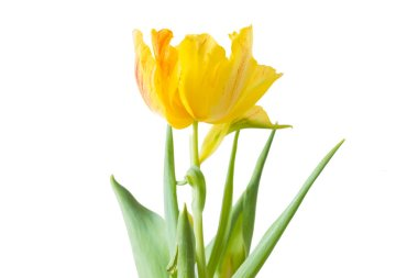Yellow Tulip with white background