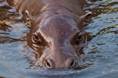 Photo Muzzle in the water. pygmy hippo (Pygmy hippopotamus)  is a cute little hippo.
