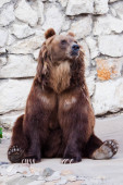 Photo Powerful brown bear (female bear). sitting against a stone wall