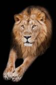 lví samec s hřívou leží s tlapami nataženými, izolované černé pozadí. Tlama silného samce lva s krásnou hřívou zblízka.
