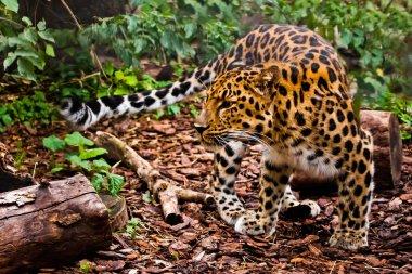 """Картина, постер, плакат, фотообои """"хорошо замаскированный (камуфляж) дальневосточный леопард практически невидим в лесу, пестрый зверь хищник ."""", артикул 318788980"""