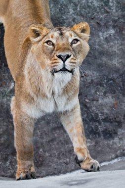 predatory interest of a big cat portrait of a muzzle of a curious peppy lioness close-up. i