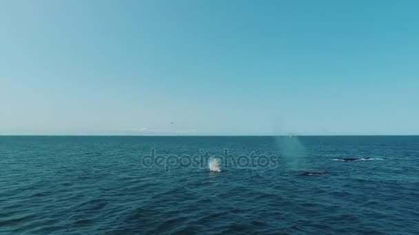Group of blue whales in the ocean