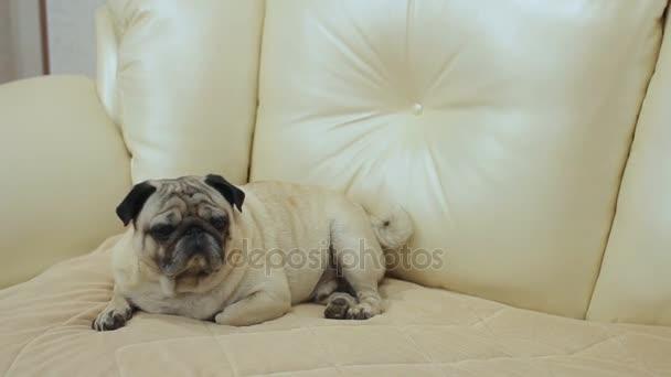 Mopsz kutya ülő-on dívány