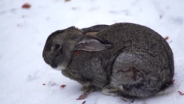 die Kaninchen Essen im Schnee