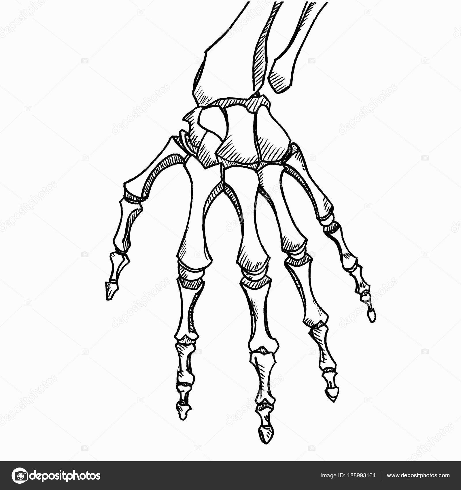 Vector mano esqueleto. Bosquejo con los huesos de la mano aislados ...