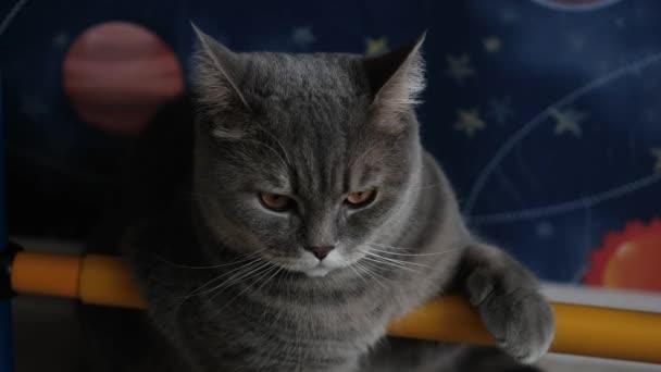 Britská kočka odpočívá a rozhlíží se. Krásné plnokrevník pet.