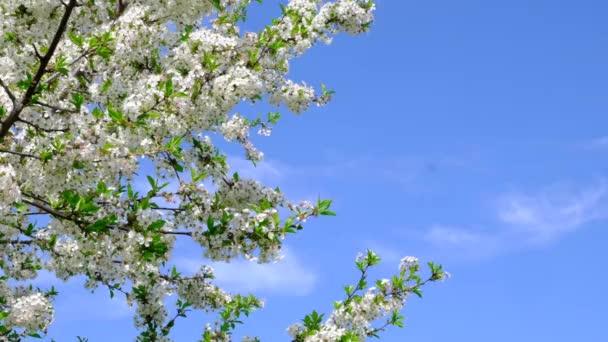 Detailní záběr bílého třešňového květu kvetoucího v zahradě. Kvetoucí stromy na jaře na venkově.