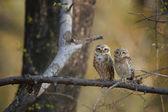 Dvě divoké sovy, brahmínský, Athene brama, indická sovy posazený na větvi v suchém lese Indie, zírala přímo na kameru. Sova se žlutýma očima. Indické fotografie, Ranthambore, Rajasthan.