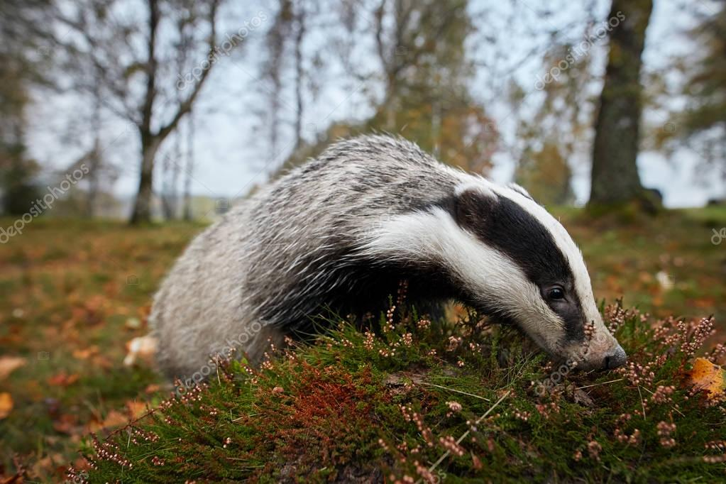 Close up, ultrawide photo of European badger, Meles meles. Black and white striped forest animal  looking for prey in colorful autumn birch forest before the winter sleep period. Czech forest.