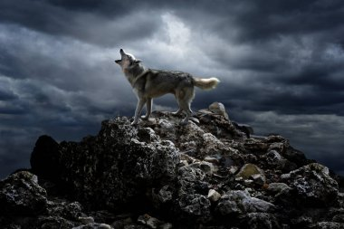 The wolf on the rock howls