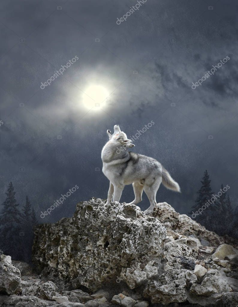 A wolf howls to the moon