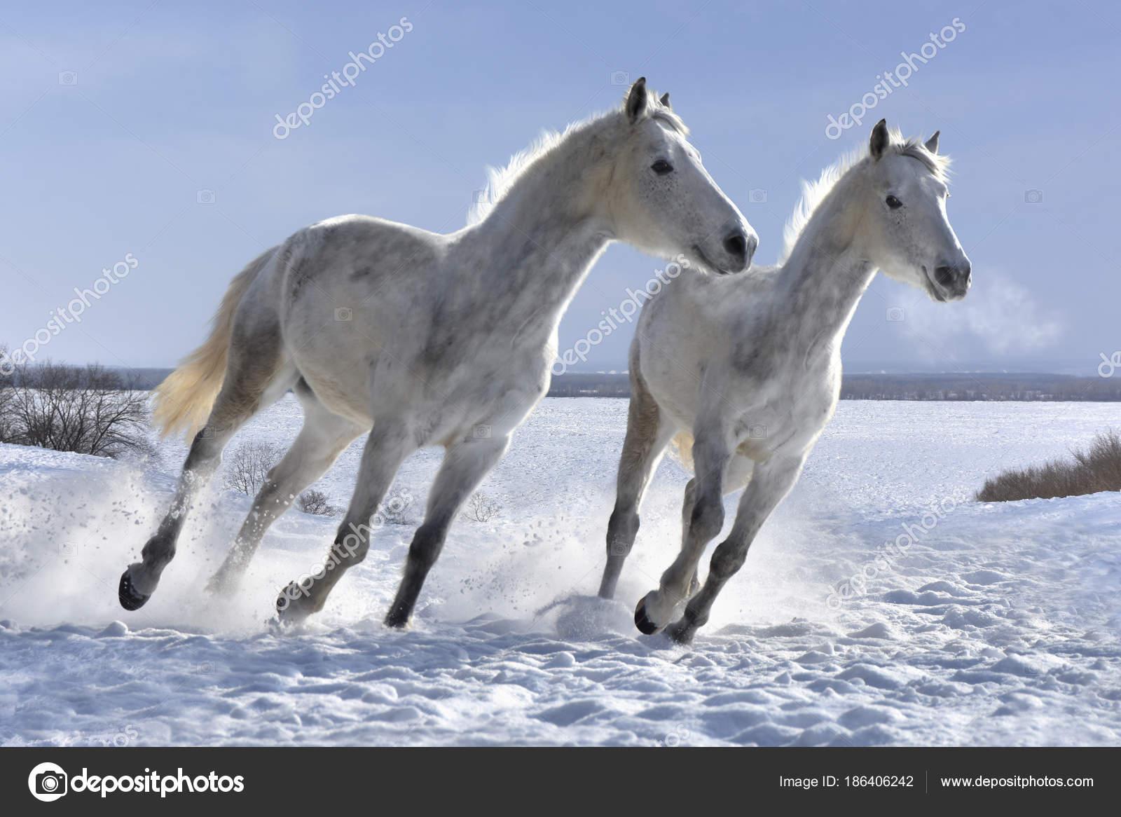 White Horses Jumping White Snow Stock Photo C Astroida List Ru 186406242