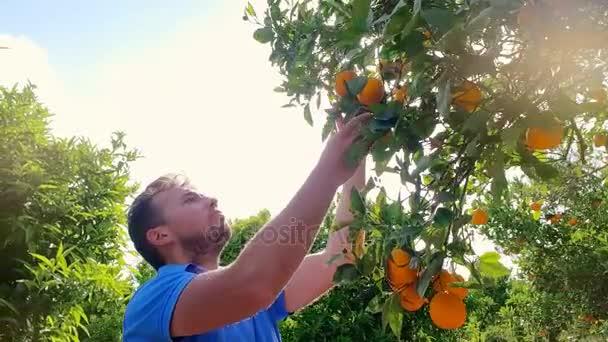 Gardener man tearing orange from branch in citrus grove. Orange fruit tree