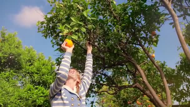 Young woman tearing orange from branch in citrus orchard. Orange tree in garden