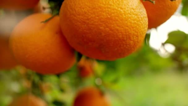 Oranges hanging on branches fruit orchard close up. Orange fruit tree background