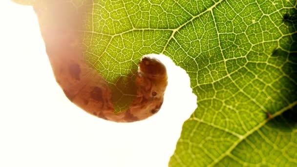 Egy selyemhernyó rágcsál elhagyja zöld fa a kertben. Caterpillar elszigetelt