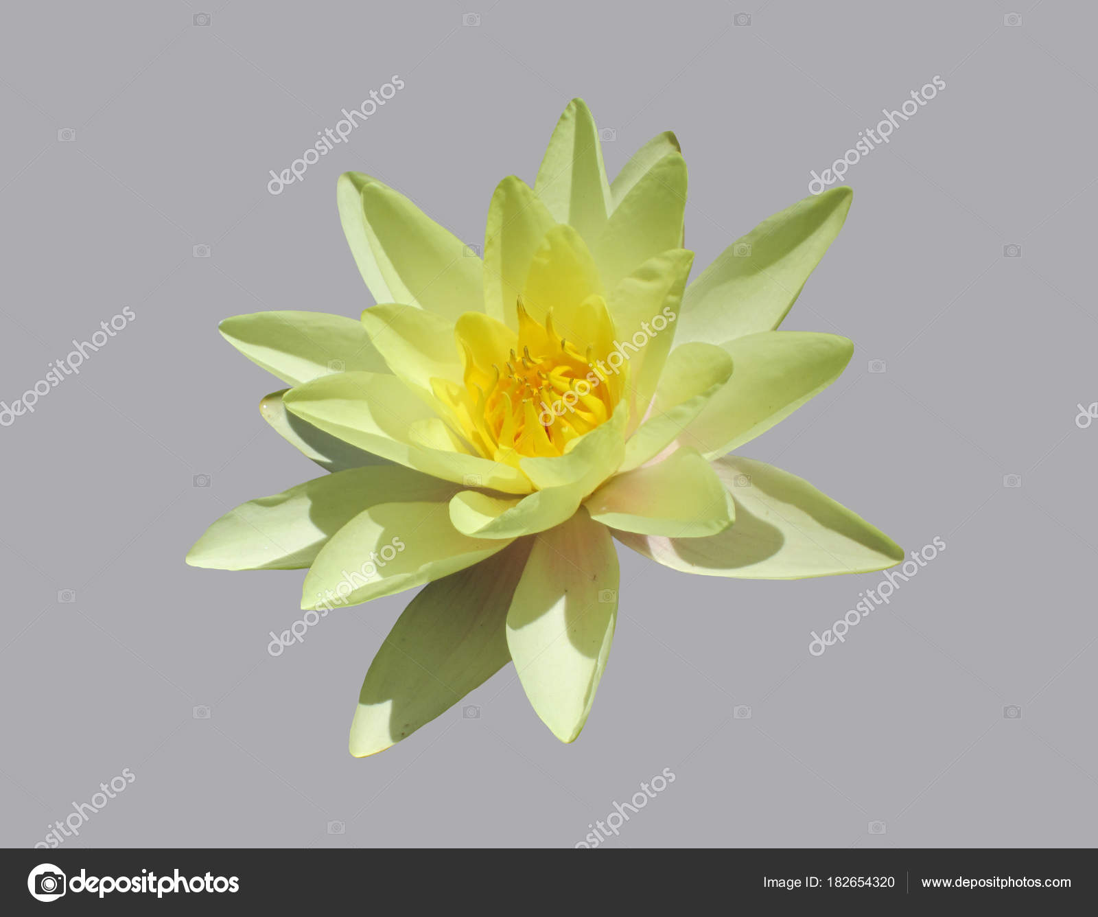 Yellow Lotus Flower Stock Photo Tangoart 182654320