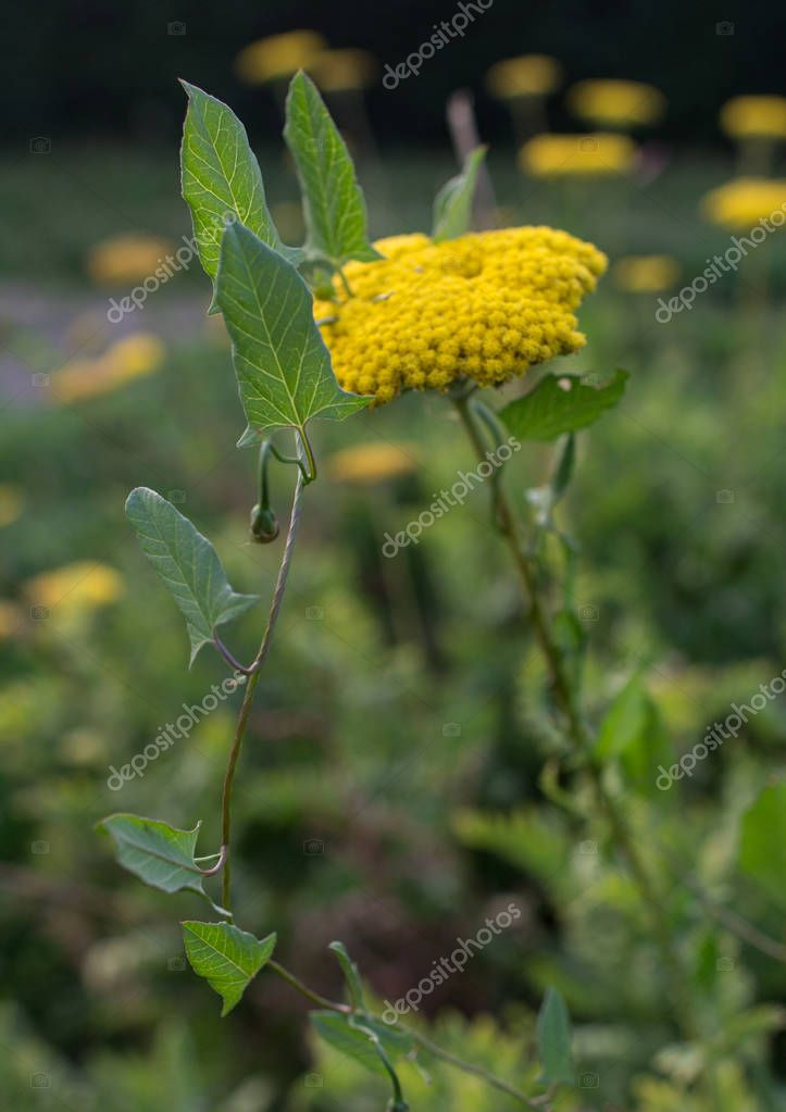 yellow yarrow flower with a bindweed around it.