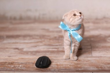 Scottish fold cat and computer mouse