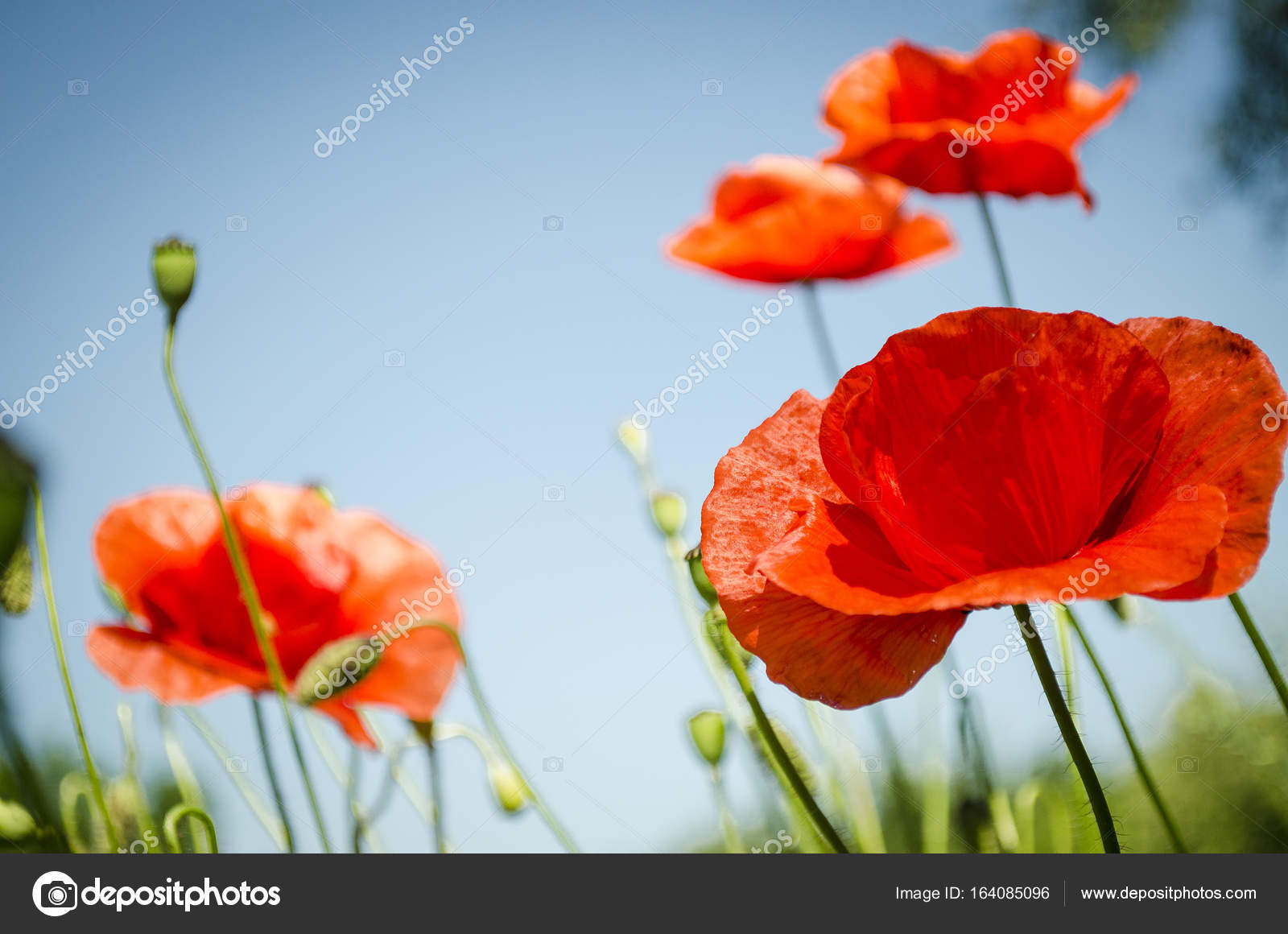 Red Poppies In The Flowering Season Stock Photo Katerina3 164085096